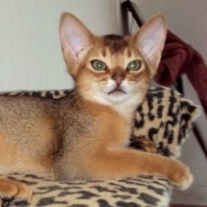 Абиссинские котята. Питомник Royal Joy