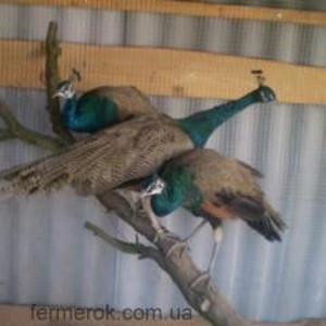 Продаю разных птиц( своего разведения)